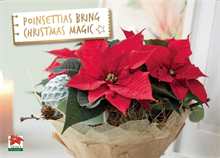 Poinsettia promotional material released as Princettia crop hits garden centres
