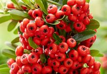 Wyevale Nurseries introduce pyracantha