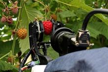 Berry grower and university company team up to field-test robot picker