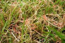 Red Thread: how groundskeepers can minimise damage from red thread on their turf