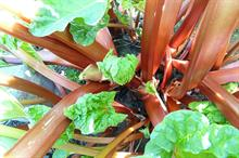Alert - disease risk for rhubarb