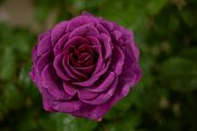 Whartons Roses wins visitor vote at National Plant Show