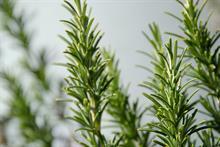 Denmark imports Xylella-infected Portugese rosemary