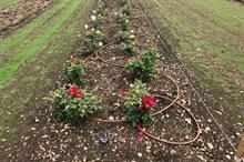 Rochford International Rose Trials reaches 1,000 plants
