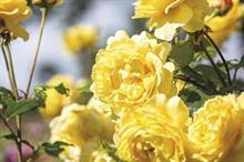David Austin Roses drops bare root plastic packaging