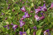 Prince William clematis for Chelsea Flower Show