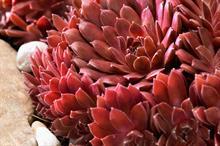 Sempervivum arachnoideum 'Belsemred1' (Coral Red)