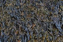NIAB EMR and Dove Associates find seaweed could lower nutrient and water use in horticulture