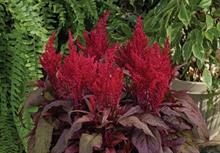 Celosia Dragon's Breath wins New Plant Award