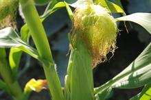 Alert: aphid on sweetcorn