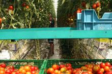 Dutch tomato exports to UK kept growing in 2018, but apples in decline