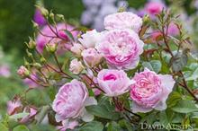 David Austin launches two new roses