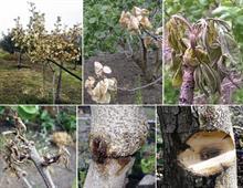 Pistachio fungus hits Sicily