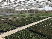 Hawkesmill Nurseries' new glasshouse helps production ahead of Four Oaks Trade Show