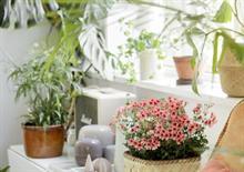 Pelargoniums for Europe promotes home interiors trends