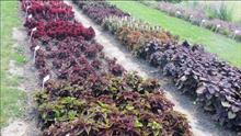 PanAmerican Seeds Coleus trials show effect of shade on colour