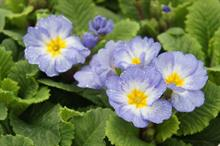 BPOA and Omex is to launch primula monitoring scheme