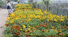 Fleuroselect  rudbeckia trials at RHS Hyde Hall beat expectations