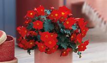 Beekenkamp's begonia MacaRouge wins international best plant award