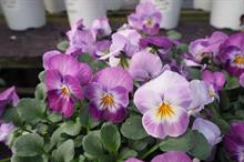 Public's favourites from WD Smith's pansy and viola trials revealed