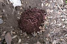 Could worms hold the answer to urban tree soil decompaction?