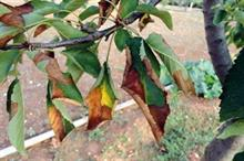 Thesis seeks horticulture trade attitudes to Xylella