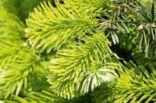 Dry weather raises serious concerns for Christmas tree growers