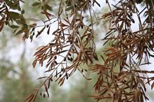 What could further restrictions on olive trees entering the UK mean for the industry?