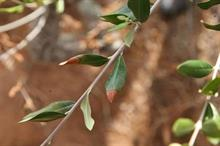 First olive trees infected with Xylella in France identified