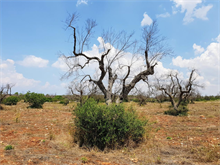 Scientists say there is hope in fight against Xylella