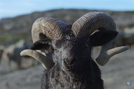 Volkswagen's 'self-confident' ram is face of global campaign for SUV model