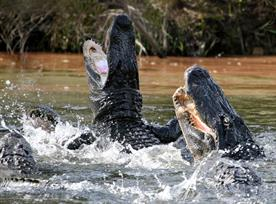 Alligator attack: lucky escape for Geoff Russell