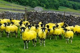 Sheep dyed yellow in Tour de France stunt