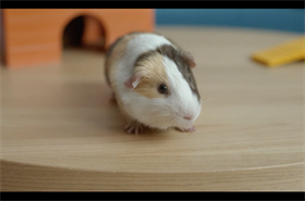Sling TV's new ads star a guinea pig named Beyonce with a $3,000 per diem