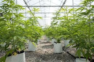 New York legalized recreational marijuana — now what?