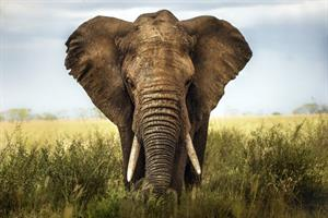 42West to develop comms for Botswana elephant-hunting policy