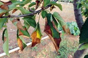 How are plant buyers in the UK reacting to Xylella?