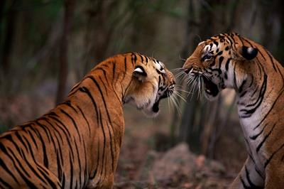 Because to create experiential tiger campaign for WWF
