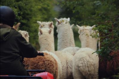 Honda UK C4 Sponsorship 'alpaca' by Wieden + Kennedy London