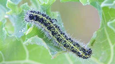 How to spot and control caterpillar infestation – and save your crop
