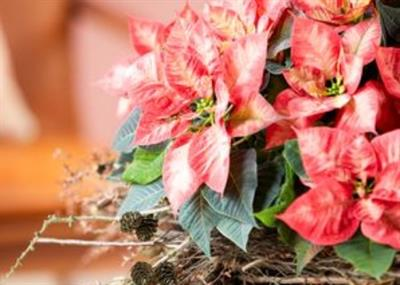 European poinsettia market on the rise - but no big changes in UK market