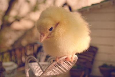"""Asda """"chick"""" by VCCP"""