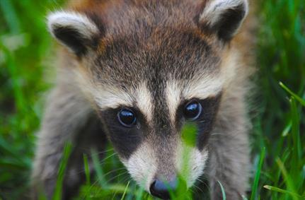 Racoon malware found stealing data from multiple apps