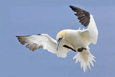 Gannets are particularly likely to avoid offshore wind projects