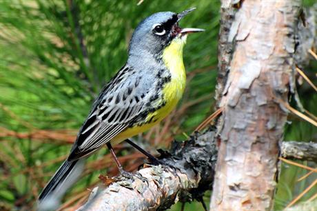 Bird charities warned the Kirtland's Warbler was among the species at risk from the Icebreaker project