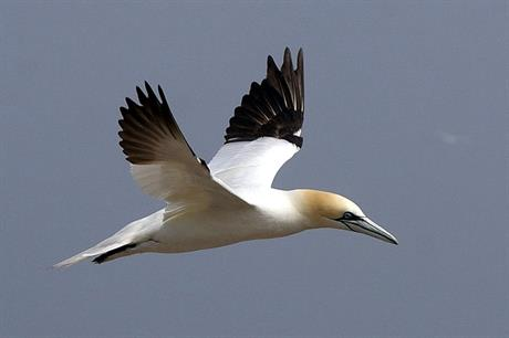 The study focused on five species of birds, including northern gannets (pic: Wikimedia Commons)
