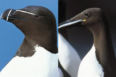 The drone pictures were able to distinguish between a razorbill (left) and a guillemot (pic: RSPB)
