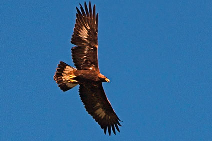 Golden eagle… the FWS has been investigating deaths at wind farms