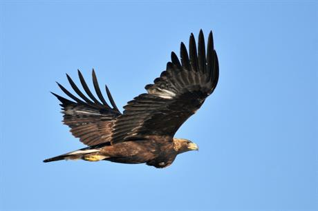 Migratory birds, including golden eagles (above), have been killed at wind farms (pic credit: US Fish and Wildlife Service)