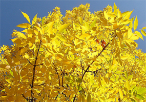 Ash trees: 30% of UK tree cover